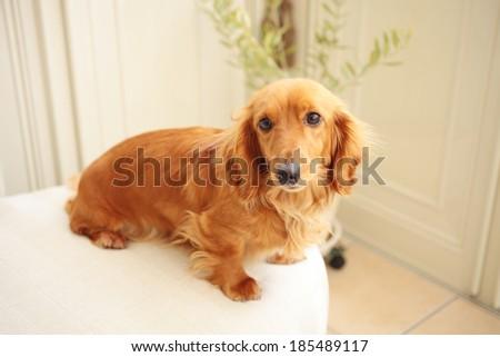 Small dog on the sofa - stock photo