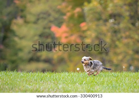 Small dog running in a field  - stock photo
