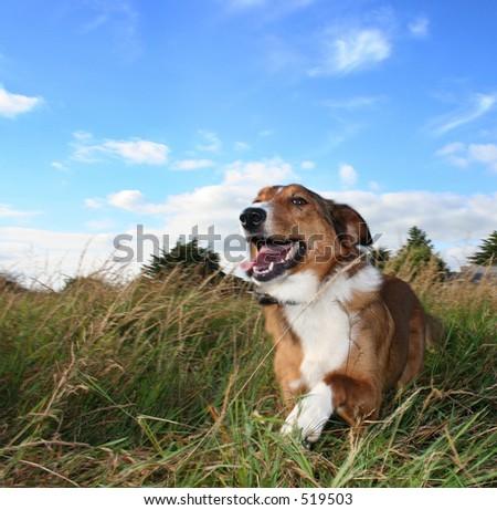 Small dog running through field - stock photo