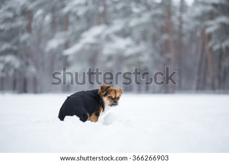 Small dog saunters in winter. Dog sits his back to the photographer and shows his teeth. - stock photo