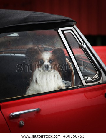 Small dog sitting in the vintage car - stock photo