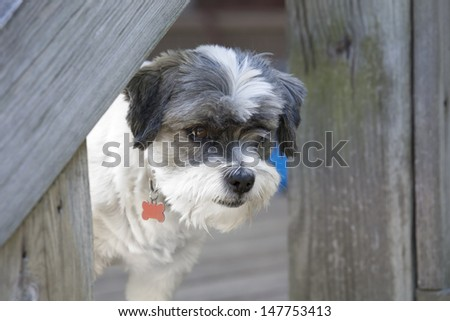 Small dog with it's attention on something, watching or hunting - stock photo