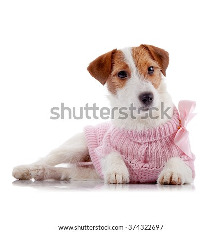Small doggie of breed a Jack Russell Terrier in a pink jumper lies on a white background - stock photo