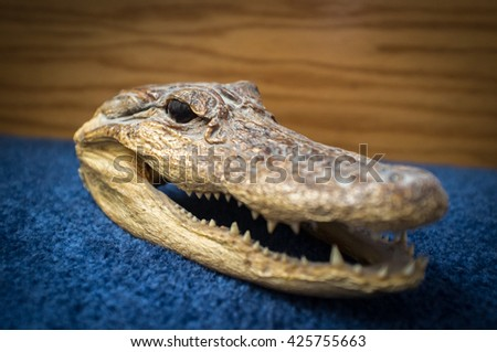 Small dried preserved crocodile head on blue surface  - stock photo