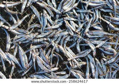 small dry fishes on net near the fisherman village. - stock photo