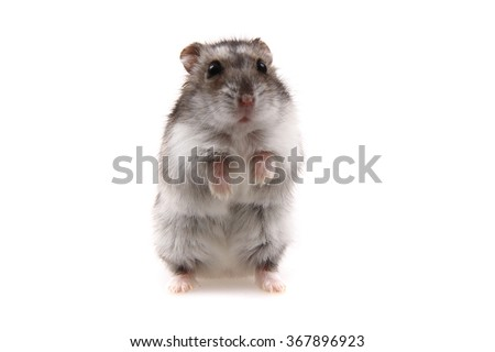 small dzungarian hamster isolated on the white background - stock photo