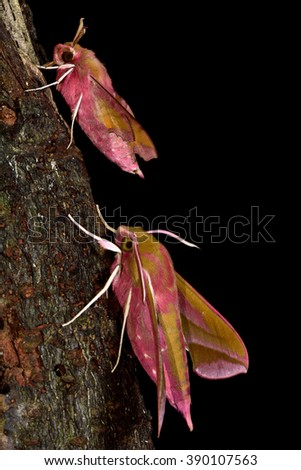 Small elephant hawk-moth (Deilephila porcellus) and elephant hawk-moth (D. elpenor). Comparison between two closely related hawk moths in the family Sphingidae - stock photo