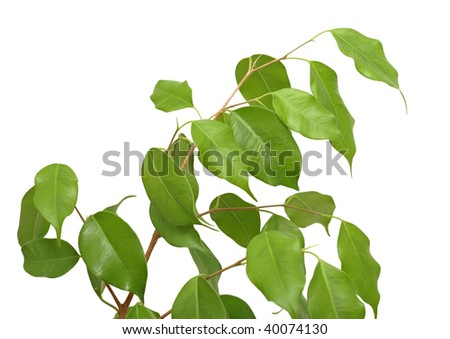 Small ficus tree (Ficus benjamina, Weeping Fig, Benjamin's Fig) with many green leaves on a white background - stock photo