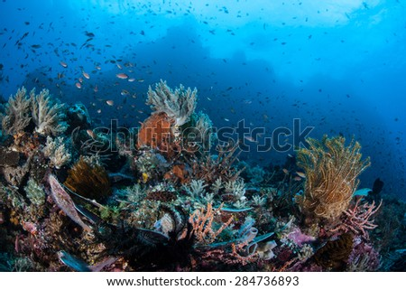 Small fish swim above a colorful and diverse reef off the coast of Sulawesi, Indonesia. This area is part of the Coral Triangle and is home to more marine organisms than anywhere else on Earth. - stock photo