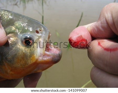 Small fishing accident, Piranha has bitten my fingertip, Amazon, Brazil - stock photo