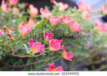 Small flower in garden beautiful bright colors. Portulaca oleracea pink flowers blooming in the garden. - stock photo