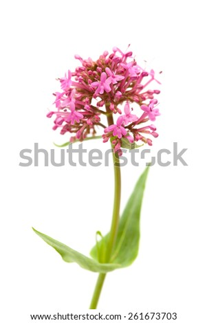 small flowers of Centranthus ruber isolated on white background - stock photo