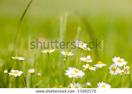 small flowers of chamomile - stock photo