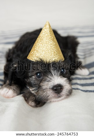 Small Fluffy Puppy in Gold Glittery Party Hat on Gray Striped Blanket  - stock photo