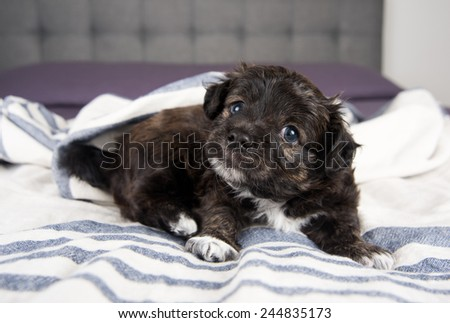 Small Fluffy Puppy Scratching on Gray Striped Blanket  - stock photo