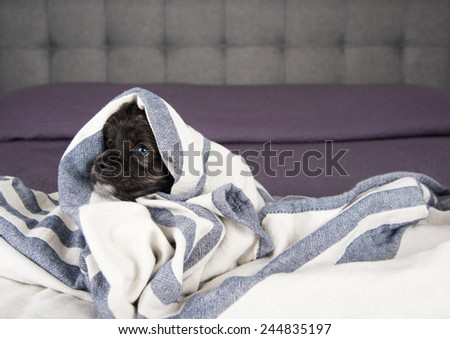 Small Fluffy Puppy Wrapped in Gray Striped Blanket  - stock photo