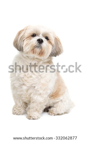 small fluffy white dog in front of a white background - stock photo