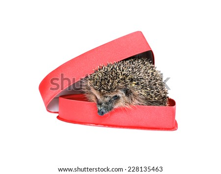 Small forest hedgehog in a red gift box in heart shape isolated - stock photo