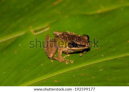 Small frog on a leaf in the rainforest at night - stock photo