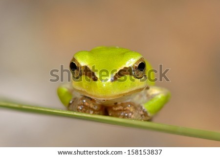 small frog on green leaf - stock photo