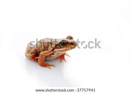 small frog very close up isolated on white - stock photo