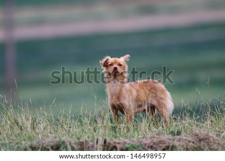 small funny dog making guardian job in the green grass - stock photo