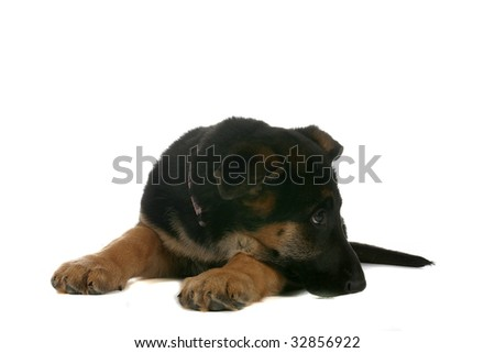 small German Shepherd puppy resting chin on paw - stock photo