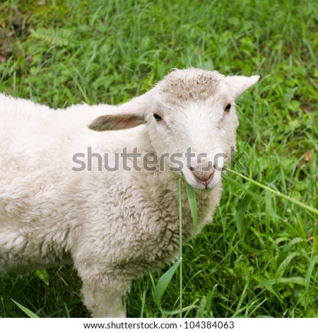 Small goat in the field - stock photo