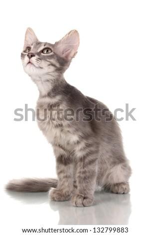 Small gray kitten isolated on white - stock photo