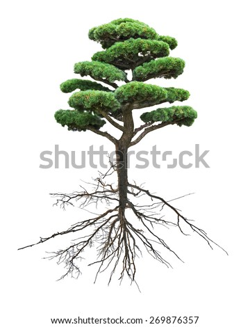 small green pine tree with root isolated on white background - stock photo