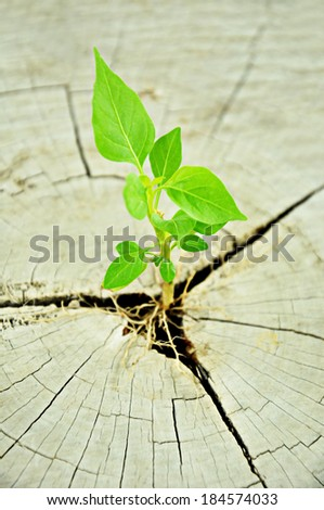Small green seedling growing from tree stump - regeneration and development concept - stock photo