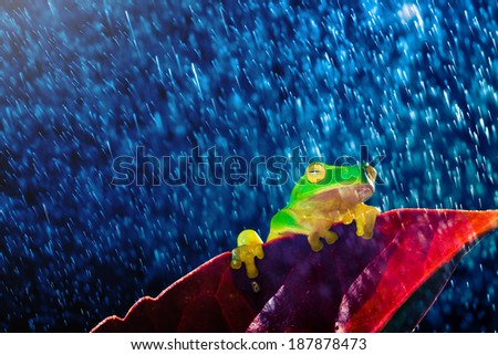 Small green tree frog sitting on red leaf in rain - stock photo