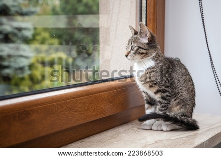 Small grey pet kitten starring out apartment window - stock photo
