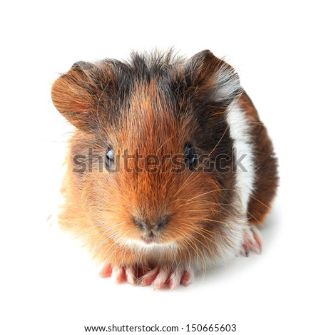 Small guinea pig isolated on white - stock photo