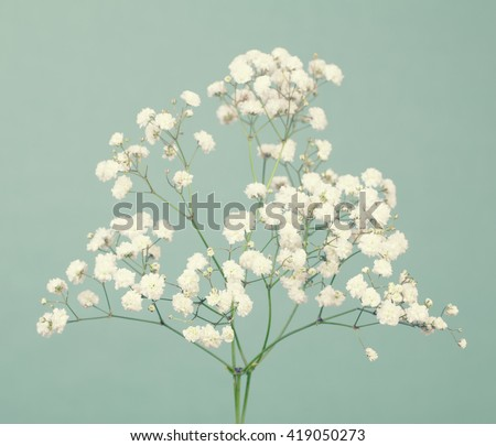 Small gypsophila (baby's-breath) flowers on a soft green background  - stock photo