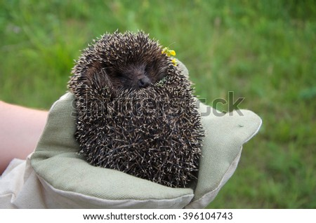 small Hedgehog curled in the hands outdoor - stock photo