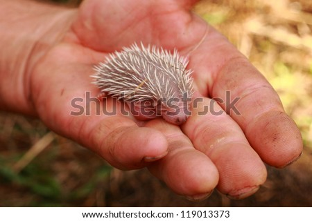 small hedgehog in the human hand - stock photo