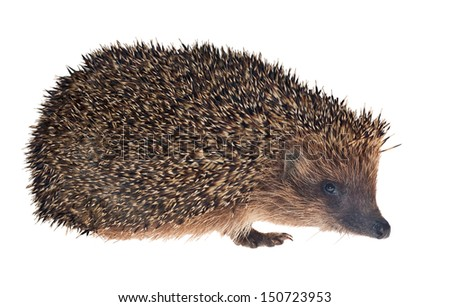 small hedgehog isolated on white background - stock photo