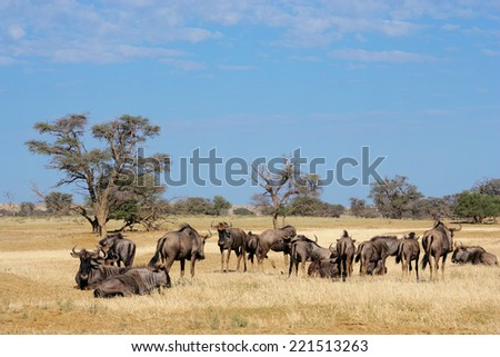 Small herd of blue wildebeest (Connochaetes taurinus), Kalahari desert, South Africa - stock photo