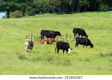 Small herd of Cows grazing in UK meadow   - stock photo