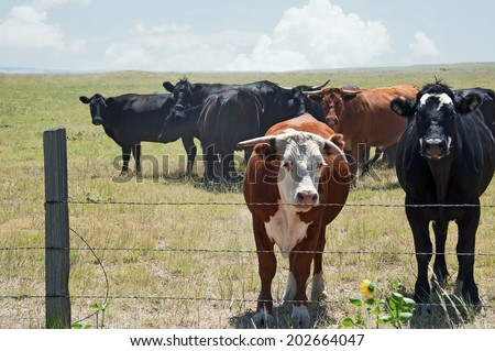 Small herd of cows on the Colorado prairie looking over a broken barbwire fence. - stock photo