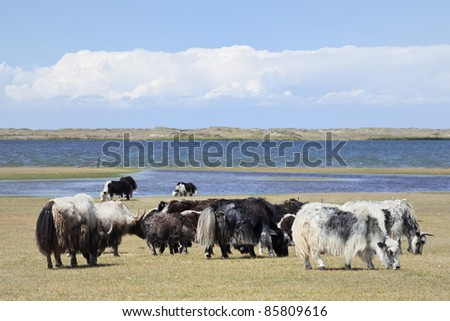 Small herd of yaks at the shore of Qinghai Lake - stock photo