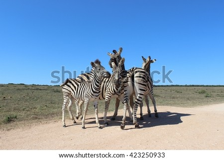 Small herd of zebra keeping close together under clear blue sky. - stock photo