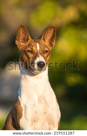 Small hunting dog breed Basenji looking forward - stock photo