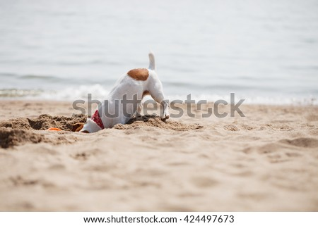 Small Jack Russell puppy playing with frisbee disc on the beach digging sand. Cute small domestic dog, good friend for a family and kids. Friendly and playful canine breed - stock photo