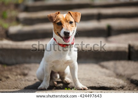 Small Jack Russell puppy sitting alone on the stairs outdoors. Cute small domestic dog, good friend for a family and kids. Friendly and playful canine breed - stock photo