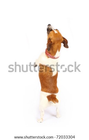 Small Jack Russell Terrier reaching up - stock photo