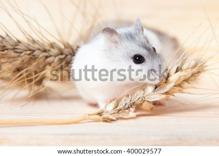 small Jungar hamster on a table with barley spikelets - stock photo