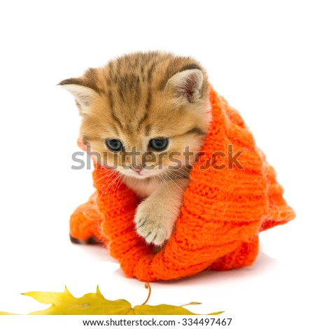 Small kitten in a knitted sweater and dry leaves, the British breed, red marble color. The age of one month. Isolated on white - stock photo