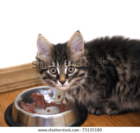 small kitten near its bowl with meal, looking at camera - stock photo